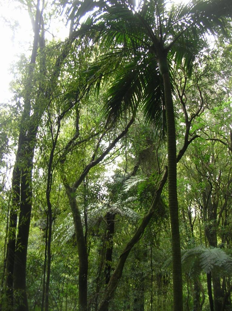 Der Gorge-Track. Blick auf eine der Palmen.